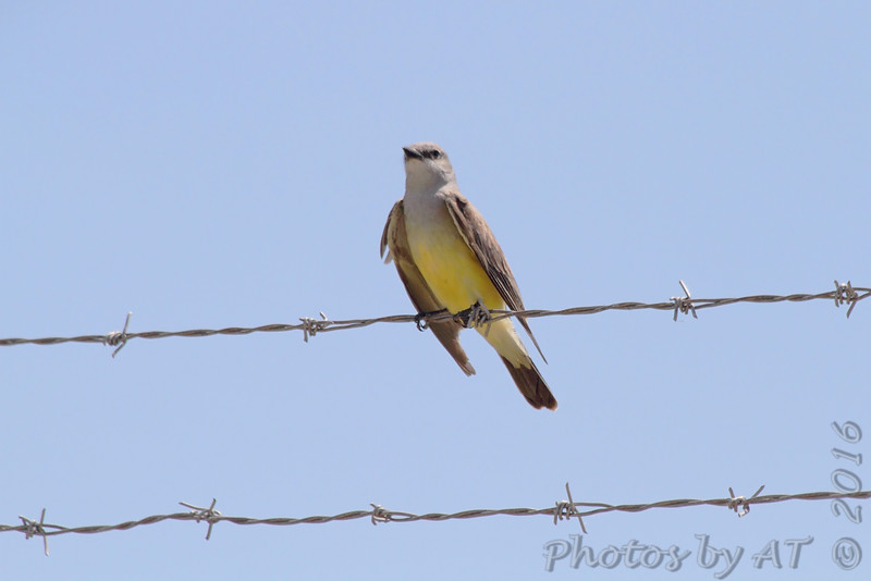 Western Kingbird <br /> on fence along Gist Road <br /> Bridgeton, MO