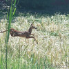 Whitetail Deer <br /> Just after going east under hwy bridge <br /> Ferguson Lane <br /> Bridgeton, MO