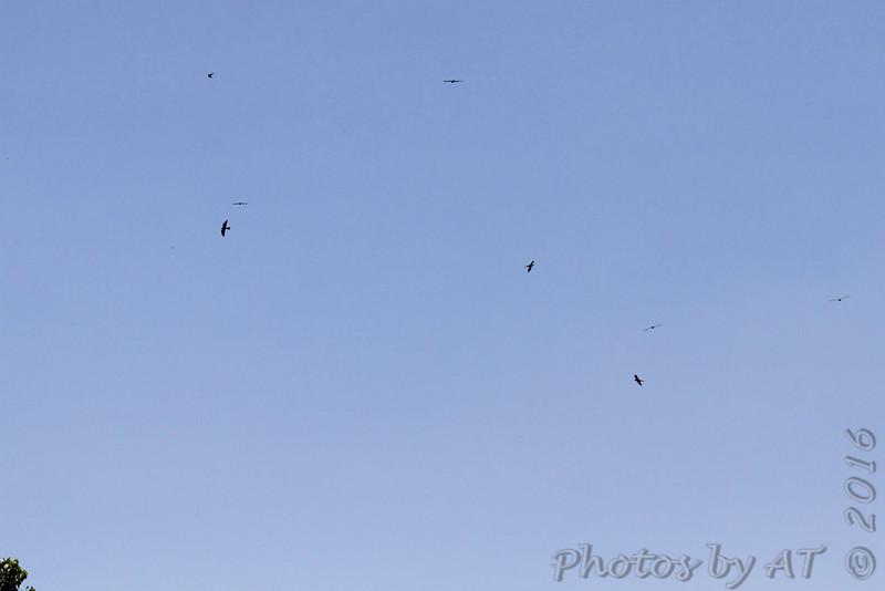 (Eight) Mississippi Kites <br /> Creve Couer Marsh