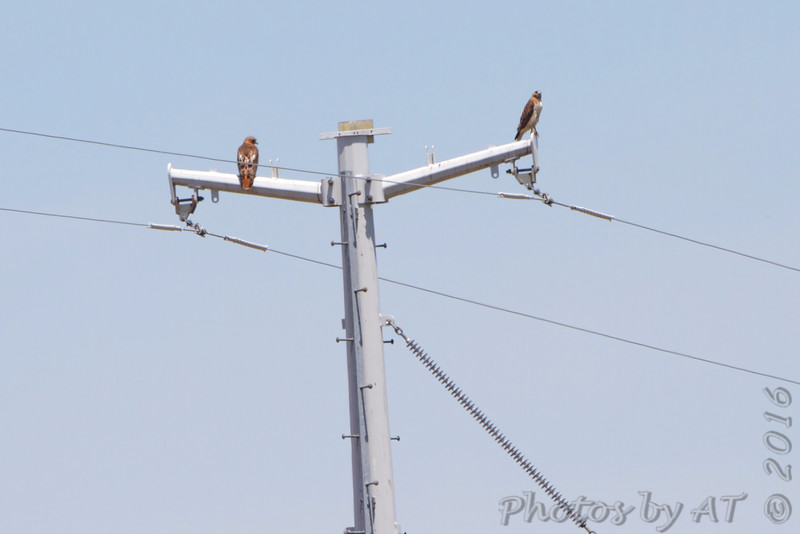 Red-tailed Hawks <br /> Creve Couer Marsh