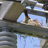 Western Kingbird on nest <br /> Pole on north side of Electrical Sub-station <br /> 0.3 mile south of McDonnell on Fee Fee Road<br />  Hazelwood, MO