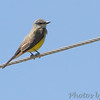 Western Kingbird <br /> Corner pole at cemetery turn in <br /> 620 feet north of Mo Bottom Road on Fee Fee Road<br />  Hazelwood, MO