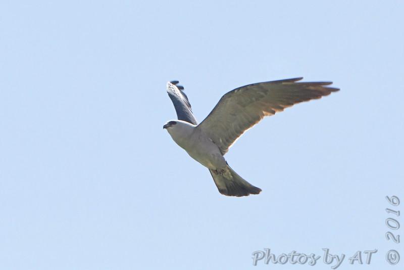 Mississippi Kite <br /> Creve Couer Marsh