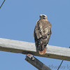 Red-tailed Hawk <br /> Fee Fee Road <br /> Bridgeton, MO