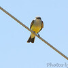 Western Kingbird <br /> Hazelwood Logistics Center Dr. <br /> at railroad crossing