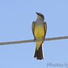 Western Kingbird at church <br /> Hazelwood Logistics Center Dr.