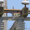 New Western Kingbird and nest (two WEKI)<br /> Intersection of Earth City and St. Charles Rock Road <br /> Bridgeton, MO