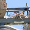 Western Kingbird on nest <br /> Bridgeton Municipal Athletic Complex (BMAC) <br /> Bridgeton, Missouri