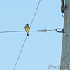 Western Kingbird <br /> on wire under light along Gist Road <br /> Bridgeton, Missouri