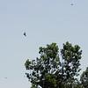 (Seven) Mississippi Kites <br /> Creve Couer Marsh