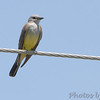 Western Kingbird <br /> Bridgeton Municipal Athletic Complex (BMAC) <br /> Bridgeton, Missouri