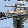 Western Kingbird and nest <br /> Over levee north side at end of St. Charles Rock Road <br /> Bridgeton, MO