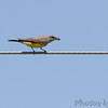 Western Kingbird <br /> Over levee north side at end of St. Charles Rock Road <br /> Bridgeton, MO