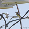 Western Kingbird <br /> Electrical Sub-station <br /> 0.3 mile south of McDonnell on Fee Fee Road<br /> Hazelwood, MO