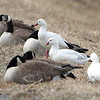 Ross's Geese <br /> and Canada Geese<br /> Teal Pond <br /> Riverlands Migratory Bird Sanctuary
