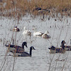 Ross's Geese  <br /> and Canada Geese <br /> Teal Pond <br /> Riverlands Migratory Bird Sanctuary
