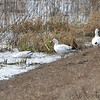 Ross's Geese <br /> Teal Pond <br /> Riverlands Migratory Bird Sanctuary