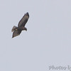 Red-tailed Hawk ''Harlan's'' <br /> Hide-A-Way Harbor