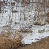 Ross's Geese <br /> Teal Pond <br /> Riverlands Migratory Bird Sanctuary