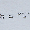 Duck raft in Ellis Bay <br /> Riverlands Migratory Bird Sanctuary<br /> 3/14/16
