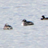 Crop of next photo <br /> Duck raft in Ellis Bay <br /> Riverlands Migratory Bird Sanctuary<br /> 3/14/16