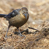 Great-tailed Grackle (female) <br /> Seeberger, Church and Dwyer Roads <br /> 3/11/16