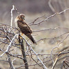 Northern Harrier <br /> Riverlands Migratory Bird Sanctuary <br /> 3/11/16