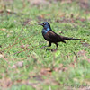 Common Grackle (Bronzed) <br /> Seeberger, Church and Dwyer Roads <br /> 3/11/16