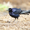 Great-tailed Grackle (male) <br /> Seeberger, Church and Dwyer Roads <br /> 3/11/16