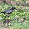 Rusty Blackbird <br /> Seeberger, Church and Dwyer Roads <br /> 3/11/16