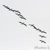 American White Pelicans <br /> Hide-A-Way Harbor <br /> 3/11/16