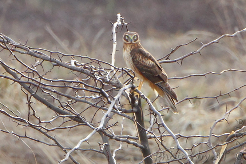 Northern Harrier <br /> Riverlands Migratory Bird Sanctuary <br /> 3/11/16