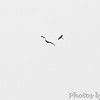 Turkey Vulture and Northern Harrier (?)<br /> Above airport <br /> California, Maryland <br /> 5/02/16