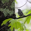 Black and White Warbler <br /> Lois sister's Condo <br /> California, Maryland <br /> 05/01/16