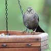 Brown-headed Cowbird <br /> Lois sister's Condo <br /> California, Maryland <br /> 05/01/16