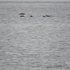 Ruddy Ducks <br /> Potomac River <br /> Virginia
