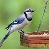 Blue Jay <br /> Lois sister's Condo <br /> California, Maryland <br /> 05/01/16