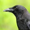 American Crow <br /> Lois sister's Condo <br /> California, Maryland <br /> 05/04/16