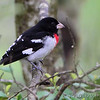 Rose-breasted Grosbeak <br /> Lois sister's Condo <br /> California, Maryland <br /> 05/01/16