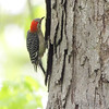 Red-bellied Woodpecker <br /> Lois sister's Condo <br /> California, Maryland <br /> 05/04/16