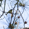 Blue-headed Vireo <br /> Point Lookout State Park <br /> St. Mary's County, Maryland