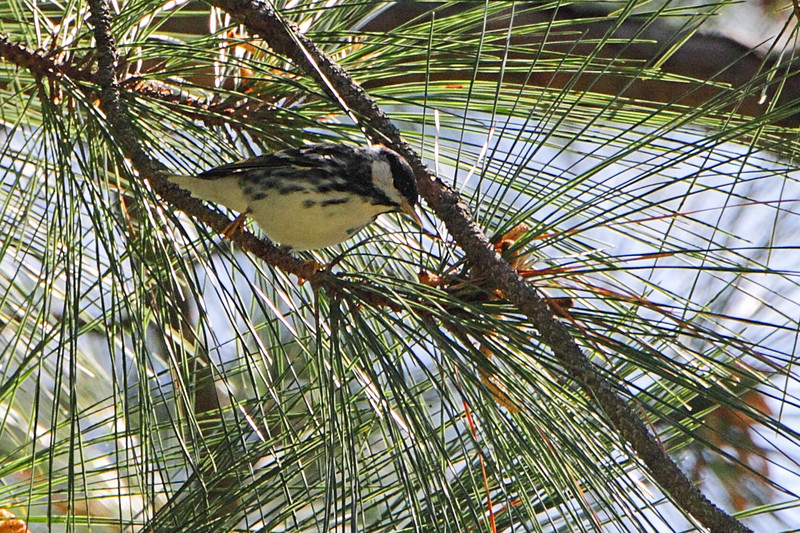 Blackpoll Warbler <br /> Point Lookout State Park <br /> St. Mary's County, Maryland