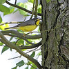 Canada Warbler <br /> Point Lookout State Park <br /> St. Mary's County, Maryland