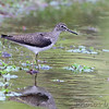 Solitary Sandpiper    <br /> Point Lookout State Park <br /> St. Mary's County, Maryland