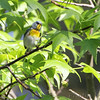Northern Parula (Warbler) <br /> Point Lookout State Park <br /> St. Mary's County, Maryland