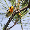Blackburnian Warbler   <br /> Point Lookout State Park <br /> St. Mary's County, Maryland