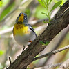 Northern Parula (Wabler) <br /> Point Lookout State Park <br /> St. Mary's County, Maryland