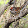 Lincoln Sparrow   <br /> Point Lookout State Park <br /> St. Mary's County, Maryland