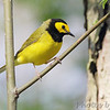 Hooded Warbler <br /> Point Lookout State Park <br /> St. Mary's County, Maryland
