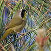Common Yellowthroat (Warbler) <br /> Point Lookout State Park <br /> St. Mary's County, Maryland